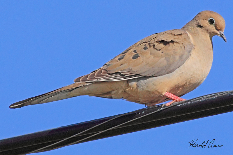 A Mourning Dove taken Apr 15, 2010 in Sacramento, CA.