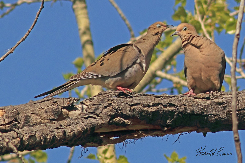 Mourning Doves taken May 4, 2011 in Grand Junction, CO.