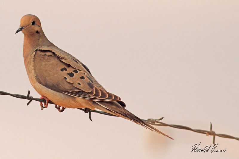 A Mourning Dove taken May 15, 2011 near Portales, NM.