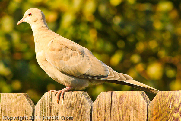 A Ringed Turtle-Dove taken Sep. 7, 2011 near Fruita, CO.