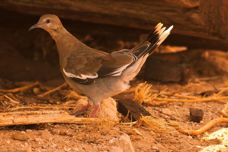 A White-winged Dove taken July 17, 2011 near Kenna, NM.