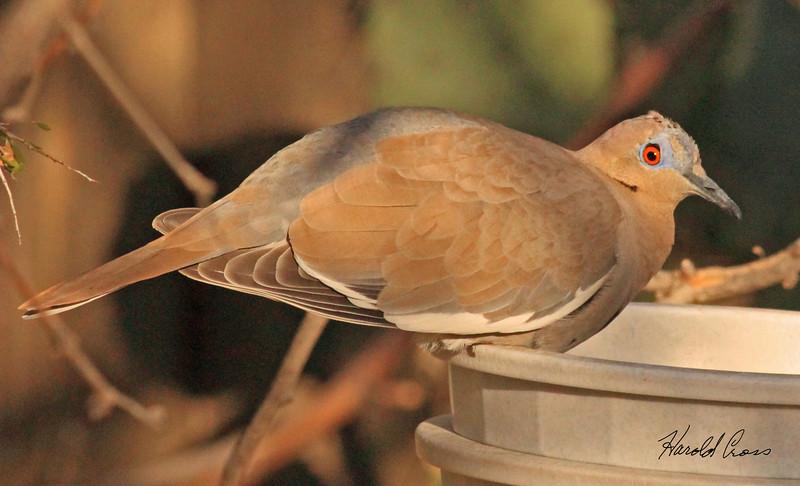 A White-winged Dove taken Feb 15, 2010 in Tuscon, AZ.