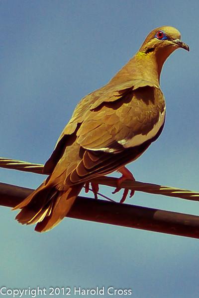 A White-winged Dove taken April 28, 2012 near Portales, NM.