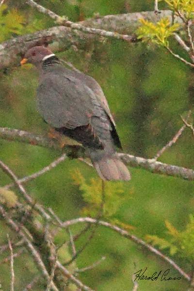 A Band-tailed Pigeon taken Apr 23, 2010 near Bridgeville, CA.