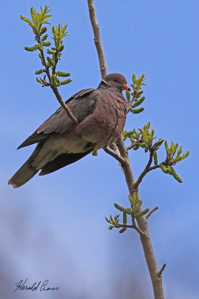 A Band-tailed Pigeon taken April 18, 2010 near Bridgeville, CA.