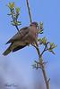 A Band-tailed Pigeon taken April 18, 2010 near Bridgeville, CA.