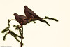 Band-tailed Pigeons taken June 14, 2011 near Bridgeville, CA.