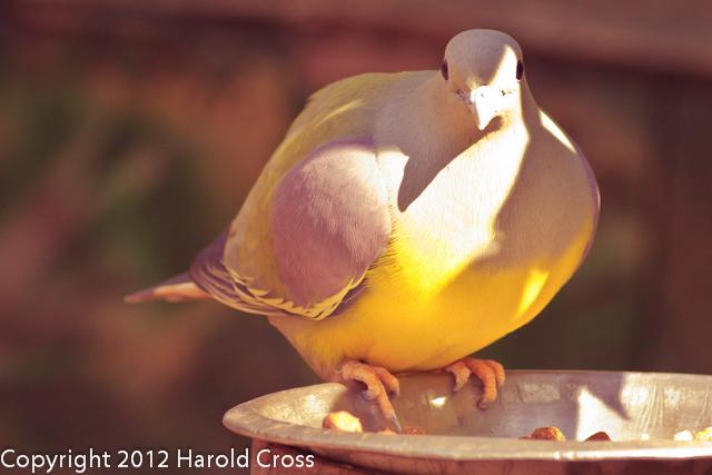 A Green Pigeon taken Feb. 20, 2012 in Tucson, AZ.