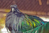 A Nicobar Pigeon taken Feb. 20, 2012 in Tucson, AZ.