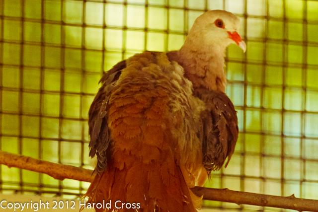 A Pink Pigeon taken Jun. 27, 2012 in Salt Lake City, UT.