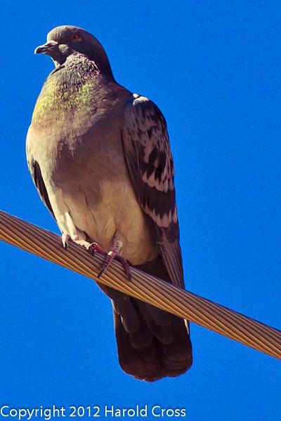 A Rock Pigeon taken Feb. 6, 2012 in Tucson, AZ.