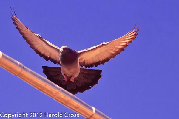 A Rock Pigeon taken Feb. 15, 2012 in Tucson, AZ.