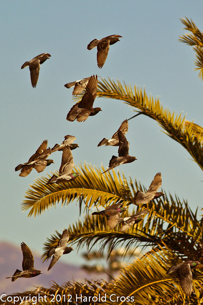 Rock Pigeons taken Feb. 25, 2012 in Tucson, AZ.