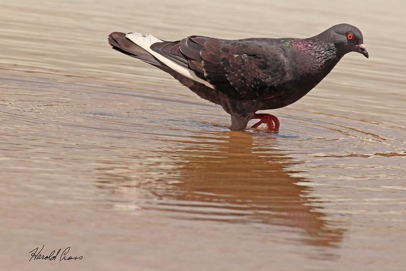 A Rock Pigeon taken July 24, 2010 near Portales, NM.
