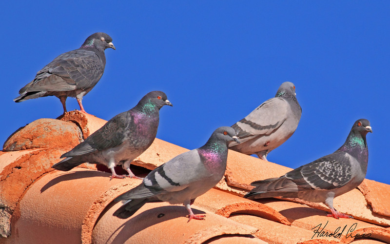 Rock Pigeons taken Jan 24, 2010 in Phoenix, AZ.