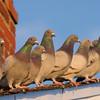 pigeons or rock doves