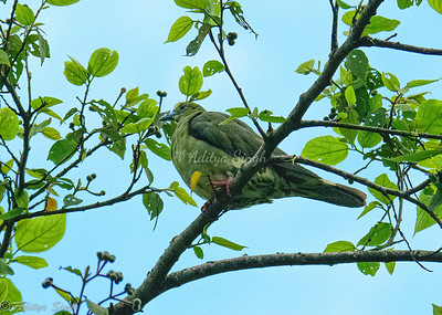 Wedge-tailed Green Pigeon female