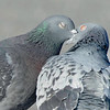 courtship behavior between rock doves