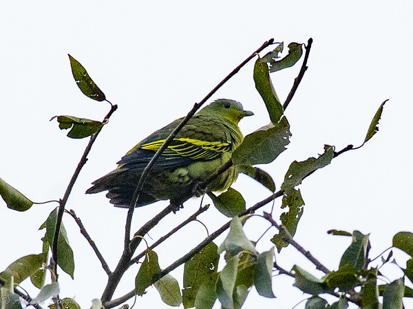 Grey-fronted Green Pigeon female