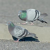 courting rock doves