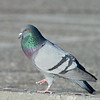 male pigeon courtship behavior