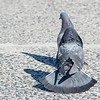 pigeon courtship behavior
