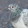 checkered pigeon