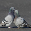 pigeon courtship behaviot