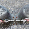 pigeons take drink