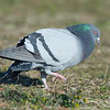 male rock dove courtship behavior