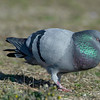 male rock dove, pigeon, courtship behavior