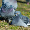 rock dove or pigeons