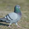 rock dove, adult dove, best told by behavior