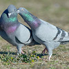 scuffling male rock doves