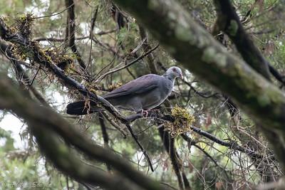 Nilgiri Wood Pigeon