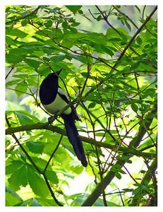 Magpie (Pica pica), Hemel Hempstead, Hertfordshire, 17/04/2011