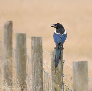 Magpie (Pica pica), Tyttenhanger Gravel Pits, Hertfordshire, 20/07/2013.