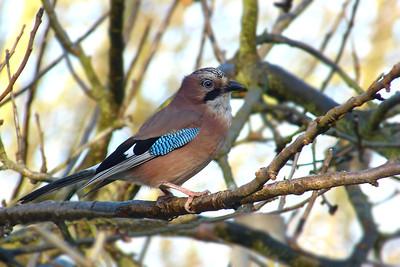 Pigeons, Doves & Corvids