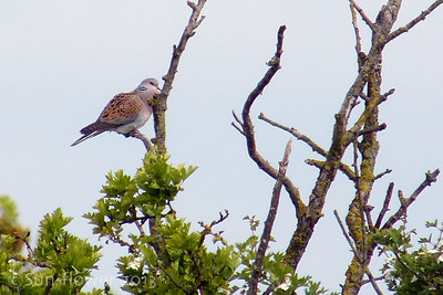 Turtle Dove (Streptopelia turtur), Totternhoe Knolls, Bedfordshire, 06/06/2013. A distant shot but a record of my first sighting of this species. On two previous occasions, I had been able to locate the bird by its soft, understated purring but it had remained hidden in thick scrub. Thankfully, today, after I'd waited/searched for over an hour, the bird became a lot more mobile and even perched out in the open briefly to allow this shot.