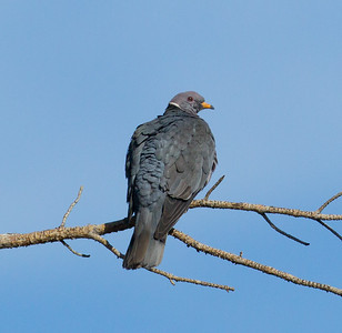 Band-tailed Pigeon  Mammoth Lakes 2010-06-24 (1 of 1).CR2