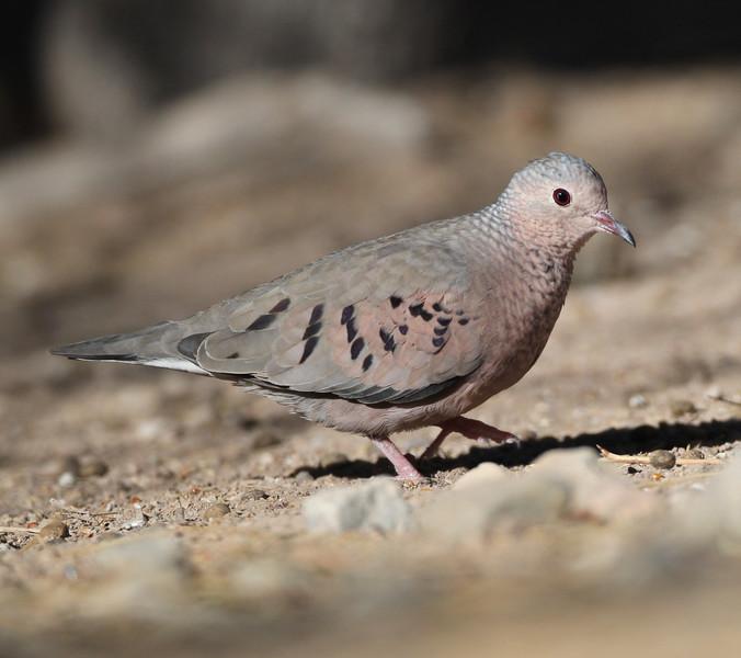 Common Ground-Dove Salton Sea 2012 08 03 (1 of 3).CR2-2.JPG