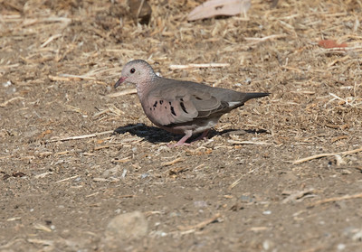 Common Ground Dove Imperial Beach 2018 11 26-2.CR2