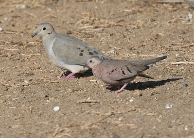 Common Ground Dove Imperial Beach 2018 11 26-6.CR2