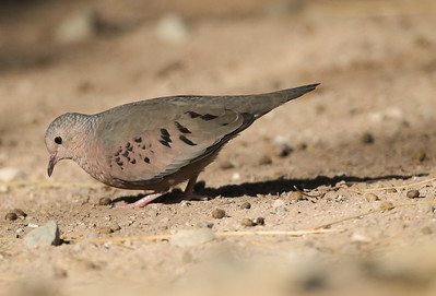 Common Ground-Dove Salton Sea 2012 08 03 (1 of 3).CR2-4.JPG