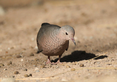 Common Ground-Dove Salton Sea 2012 08 03 (1 of 3).CR2-3.JPG