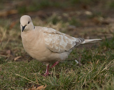 Eurasian-collared Dove Camp Pendleton 2016 01 09-2.CR2