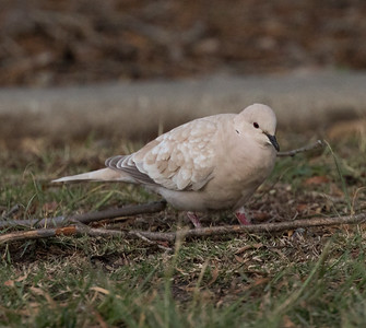 Eurasian-collared Dove Camp Pendleton 2016 01 09-1.CR2
