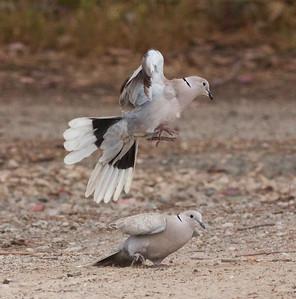 Eurasian Collared-Dove   San Dieguito San Dieguito -1.CR2