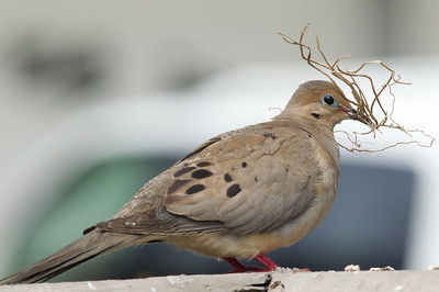 Mourning Dove  Encinitas 2012 07 31 (2 of 2).CR2
