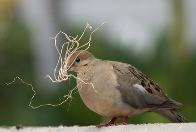 Mourning Dove  Encinitas 2012 07 31 (1 of 2).CR2